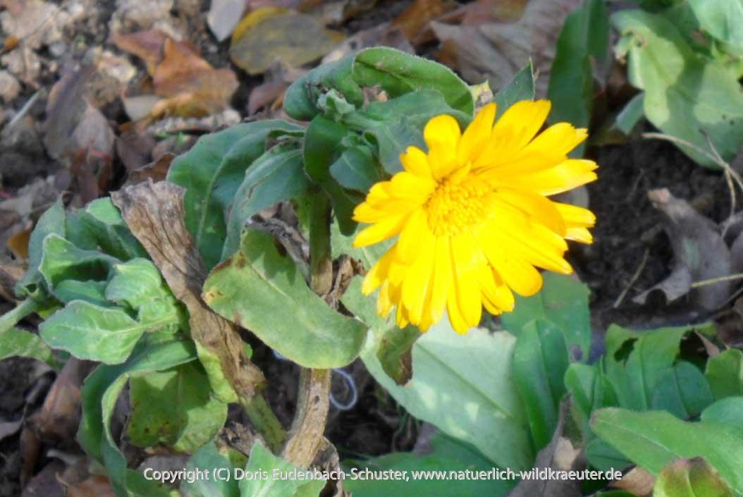 November-Ringelblume