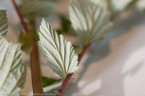 Mädesüß-Blätter