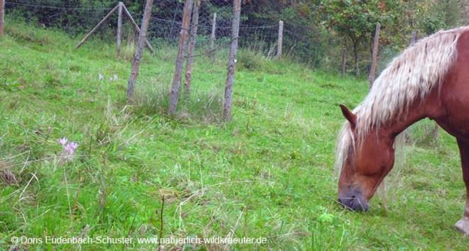 Herbstzeitlose_Pferd_nah